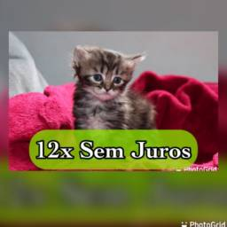 Título do anúncio: Gatos Persas mestiços (Macho) 12x s/Juros