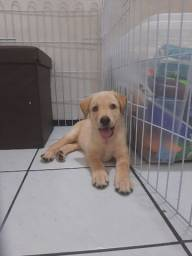 Título do anúncio: Cachorro filhote labrador puro