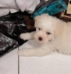 Título do anúncio: Poodle com 1 mês e 15 dias