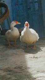 Patos adulto