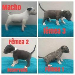 Filhotes Bull terrier disponíveis para venda