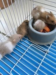 Filhotes hamster ramster apenas 15 reais já desmamados