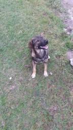 Adoção lindo cão macho 9 meses