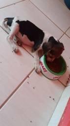 Troco filhote macho de AMERICANO por filhote de shih tzu macho