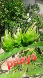 Pitaya no ponto de produção