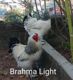 Bhama light