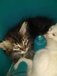 Título do anúncio: Doa-se lindos gatinhos muito saudáveis