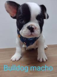 Encantadores filhotes de bulldog frances