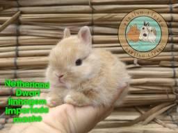 Título do anúncio: Netherland Dwarf linhagem importada
