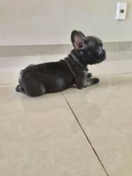 Bulldog Frances 01 Filhote Femea (otimo preco)