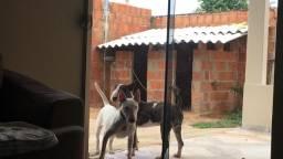 Vendo casal Bull Terrier