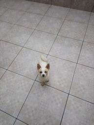 Chihuahua Fêmea adulta
