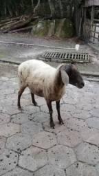 Vendo ovelhas