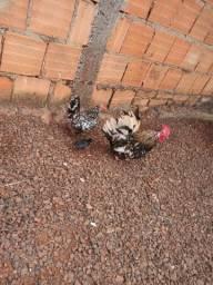 Mini galize nagasaki casal com pintinho Araraquara
