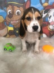 Beagle Disponível Promoção hoje
