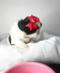 Shitzu mini fêmea