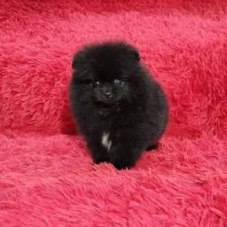 Fêmea Black Lulu da Pomerânia