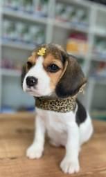 Título do anúncio: Beagle lindos filhotes