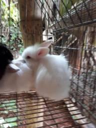 Coelhinhos angorá 100 dias maravilhoso