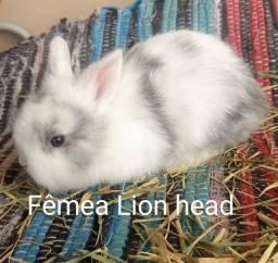 Título do anúncio: Linda Lion head