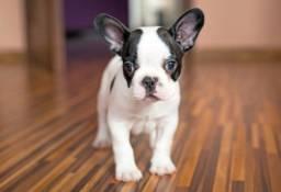 Bulldog Frances excelente filhote!