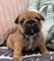Filhotinhos de Bulldog Francês