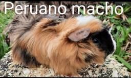 Título do anúncio: Porquinho da india Peruano