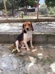Cobertura d beagle puro preço a cobinar