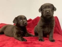 Título do anúncio: Labrador linhagem campeã!