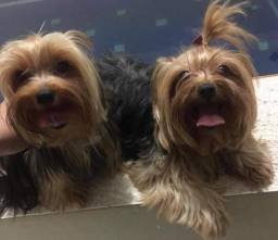 Yorkshire terrier pequenos