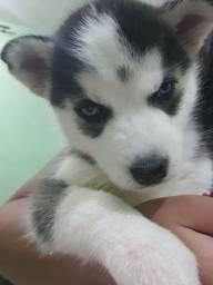 Título do anúncio: Vendo filhote de husky siberiano
