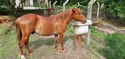 Título do anúncio: Cavalo Piquira marchador