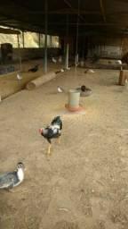Galinhas e frango