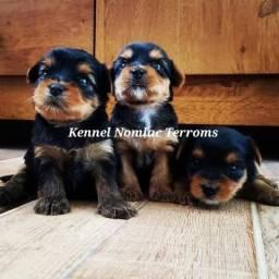 Yorkshire Terrier Meninos