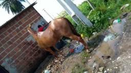 Cavalo extra pra quem gosta de cavalgar