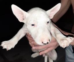 Filhotes de Bull Terrier Standard