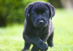 Labrador machos e fêmeas pretos