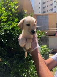 Título do anúncio: Labrador Filhotes Disponiveis Confira