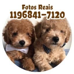 Poodles machos a pronta entrega, fotos reais leia o anúncio