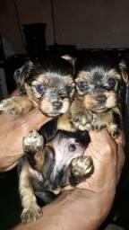 Vendo filhote de yorkshire(york terrier)