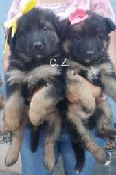 Título do anúncio: Lindos filhotes de Pastor Alemão com pedigree e vacinados com vacina importada