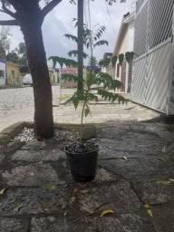 Muda da planta ninho indiana