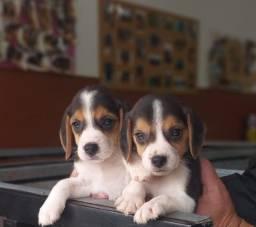 Título do anúncio: Lindos Filhotes De Beagles À Pronta Entrega Chame Já Império Romano