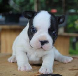 Título do anúncio: Bulldog Francês pirata/tigrado/fulvo/branco,  adquira conosco