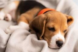 Beagle filhotes super companheiros e alertas! Já vacinados!