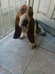 Basset hound ótimo cachorro