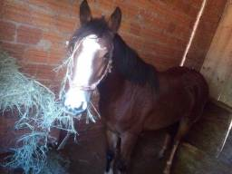Égua criola pura