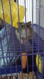 Hamster anão russo. Doação