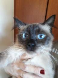 Doa se linda gatinha siamesa 6 meses Mooca sp