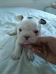 Filhote de bulldog francês